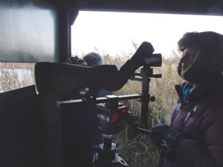 Filming the evening roost, Montrose Basin