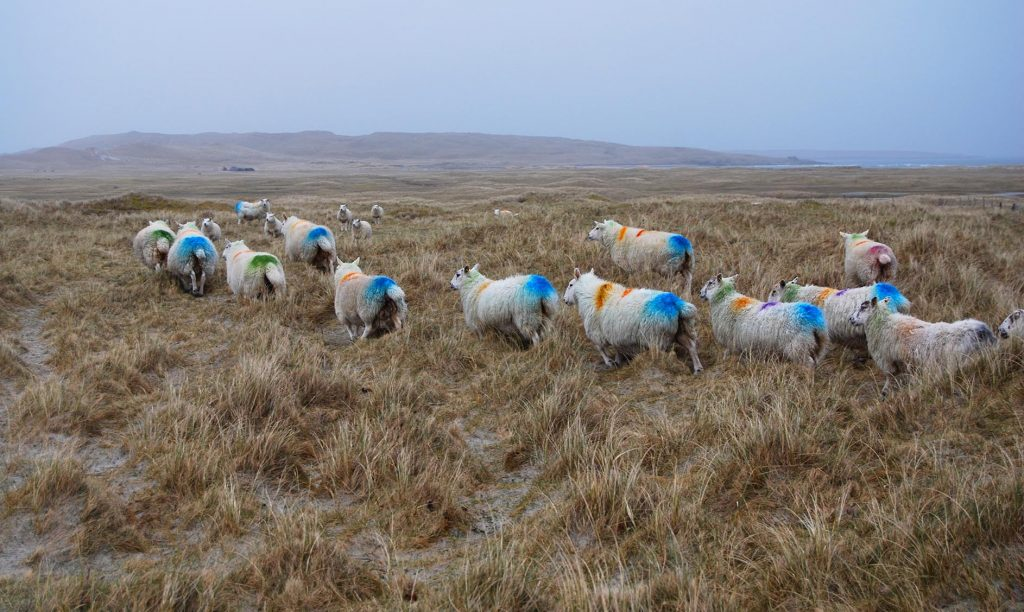 udal sheep